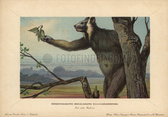 Megaladapis madagascariensis  extinct giant lemur  catching a parrot