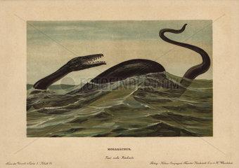 Mosasaur  Mosasaurus hoffmannii  extinct genus of carnivorous aquatic lizards that lived in the Cretaceous period.