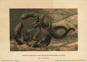 Dryptosaurus aquilunguis  extinct genus of primitive tyrannosaur that lived in the Cretaceous period.