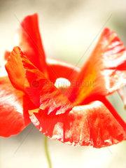plant poppy 1