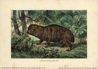 Giant Hyrax  Riesenklippdachs  ancestor of the Rock or Cape Hyrax (Procavia capensis).