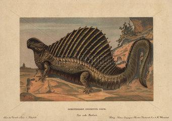 Dimetrodon  extinct predatory synapsid genus of the Permian period.