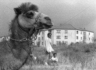 Kamel in der Weststadt