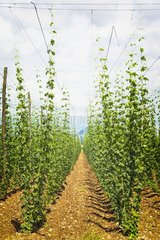 near Celje  Styria  Slovenia  Hop plants growing in a hop field  Humulus lupulus. (Photo by: Education Images/UIG)