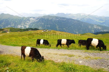 black and white cows at the Jaufenpass