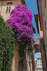 Bougainvillea Flowers - Pisa