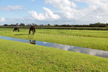 Neuwerk  Deutschland  Pferde auf einer Weide auf der Insel Neuwerk