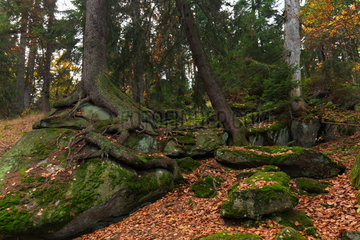 Regen  Deutschland  der Wald an den Haengen des Berges Grosser Arber
