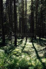 Filzmoos  Oesterreich  Wald im Gegenlicht im Salzburger Land