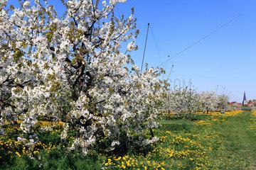 Jork  Deutschland  Apfelbaumbluete im Obstanbaugebiet Altes Land