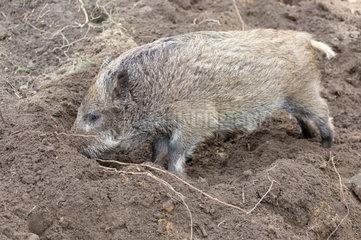 Klaistow  Deutschland  ein junges Wildschwein  Ueberlaeufer  wuehlt im Sand