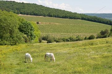 Dijon  Frankreich  grasende Pferde auf einer Weide