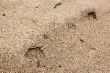 Spreetal  Deutschland  Wolfsspuren im Wald bei Spreetal