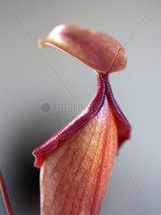 Fleischfressende Kannenpflanze