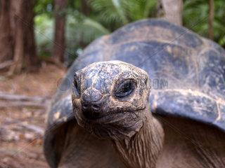 Seychellen-Riesenschildkroete