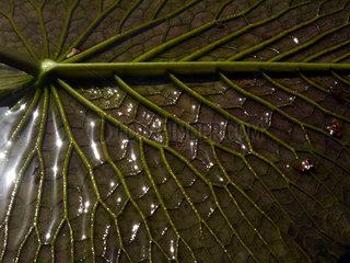 Seerosenblatt Viktoria