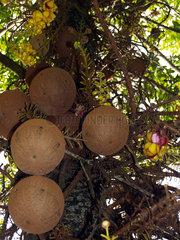 Canonball Tree