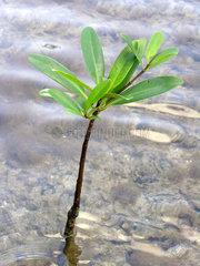 Mangrovenkeimling.