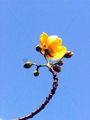 Butterblumenbaumbluete