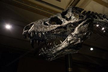 Berlin  Deutschland  Original-Skelett des Tyrannosaurus rex im Naturkundemuseum