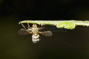 Hoverfly (Diptera syriphidae) killed by parasitic fungus