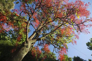 Illawara flame tree (Brachychiton acerifolius)