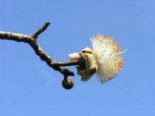 Kapokfrucht