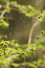 Green Longhorn moths (Adela reaumurella) in mid-flight