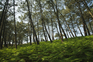 Pine woods  Crozon Peninsula  Finistère  Brittany  France