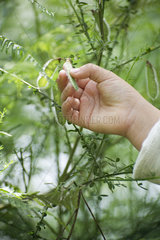 Child's hand touching pea pod growing on plant