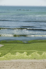 Toxic algae washed up on beach  Plage de Postolonnec  Crozon Peninsula  Finistère  Brittany  France