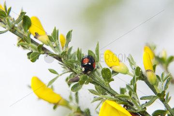 Asian ladybug crawling on broom shrub
