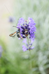 Fiery clearwing (Pyropteron chrysidiformis) on lavender