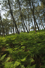 Pine trees and lush ferns  Crozon Peninsula  Finistère  Brittany  France