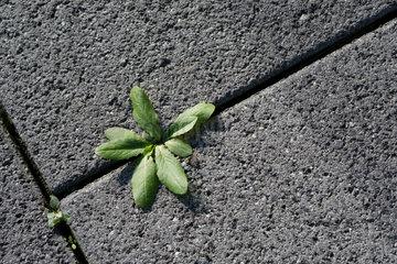 Hamburg  Deutschland  eine Pflanze waechst aus dem Asphalt