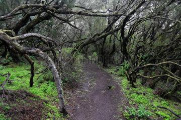 Las Hayas  Spanien  Lorbeerwald im Nationalpark Garajonay auf La Gomera