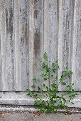 Hamburg  Deutschland  eine kleine Pflanze waechst aus dem Asphalt vor einer Wand