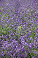 Heacham  Grossbritannien  Detailaufnahme eines Lavendelfeldes