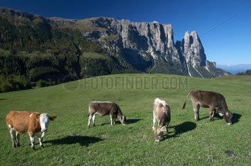 Compatsch  Italien  Kuehe auf einer Weide und Schlernmassiv