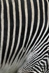 Hamburg  Deutschland  Fell eines Zebra