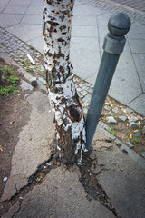Berlin  Deutschland  eine Birke sprengt den Asphalt