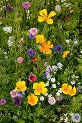 Bottrop  Deutschland  Sommerwiese mit Wildblumen
