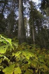 Revelstoke  Kanada  auf dem Giant Cedars Boardwalk Trail