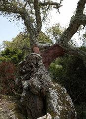 Tuili  Italien  Korkeichen auf der Hochebene der Giara di Gesturi