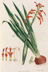 African corn lily  1776.