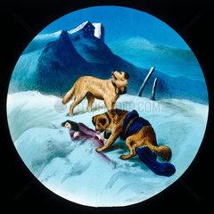 St Bernard dog rescuing an avalanche victim