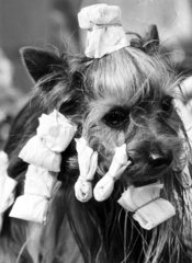 Yorkshire terrier in curlers  March 1973.
