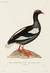 Antarctic goose  (female)  Falkland Islands  1822-1825.