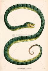 Sumatran Pit-Viper  Indonesia  1839-1844.