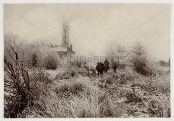 Cows in a frosty field  c 1890.